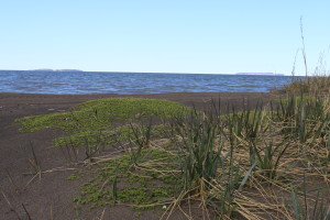 The once drab beach is slowly waking from its winter slumber. These grasses and small plants mark the first beach-goers to stake out their spot on this town's sandy shores. (Photo credit: John Kelly)