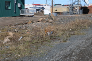 "A ""Sik Sik,"" a type of ground squirrel, has adapted to city life in Kugluktuk. Similar to the beaches outside town, trash is a major issue in town that is evident in this Sik Sik's habitat. (Photo credit: John Kelly)"