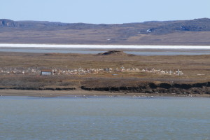 The old cemetery across the Coppermine River. It is threatened by the thawing of permafrost and eroding riverbanks encroaching on the graves. (Photo credit: John Kelly)